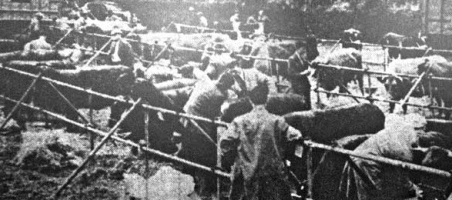 1954-launceston-horse-show-cattle-ring