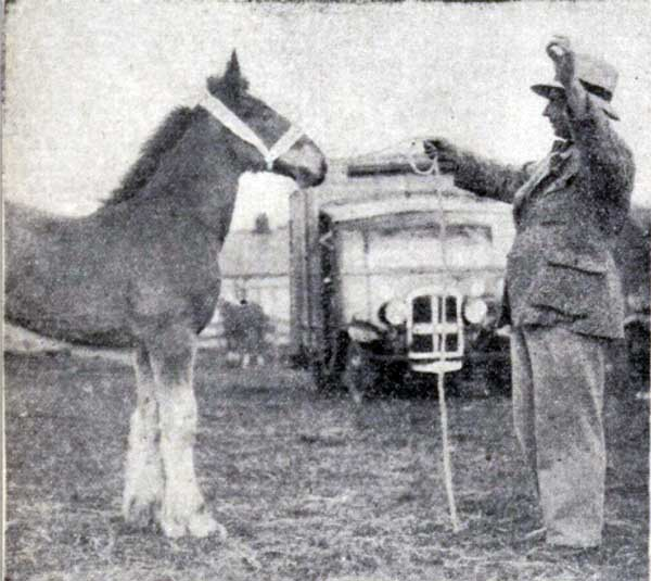 mr-t-p-may-with-his-prizewinning-two-month-old-shire-foal-jubilee-at-the-1935-launceston-show