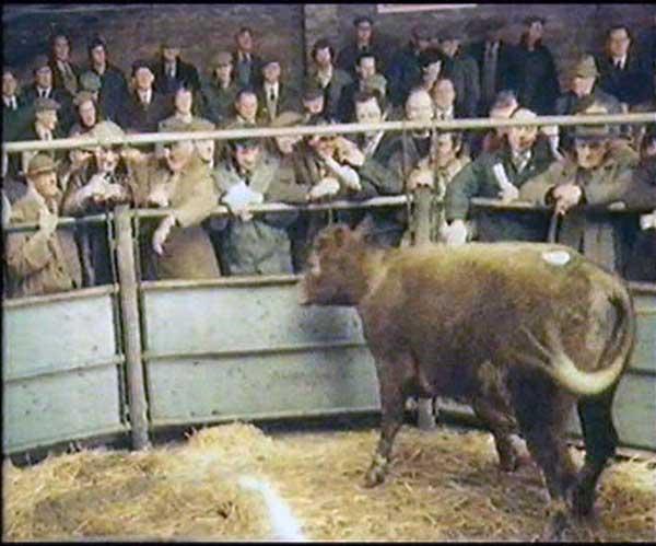 launceston-cattle-market-2