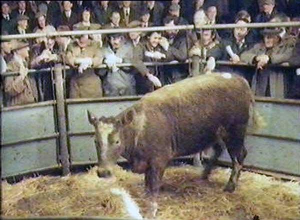 launceston-cattle-market-6