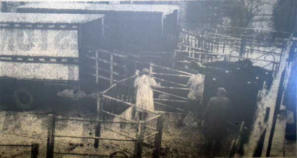 launceston-cattle-market-november-1963
