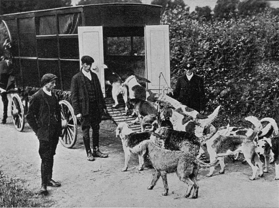 Tetcott Otterhounds being loaded up into their wagon at Netherbridge in 1910.
