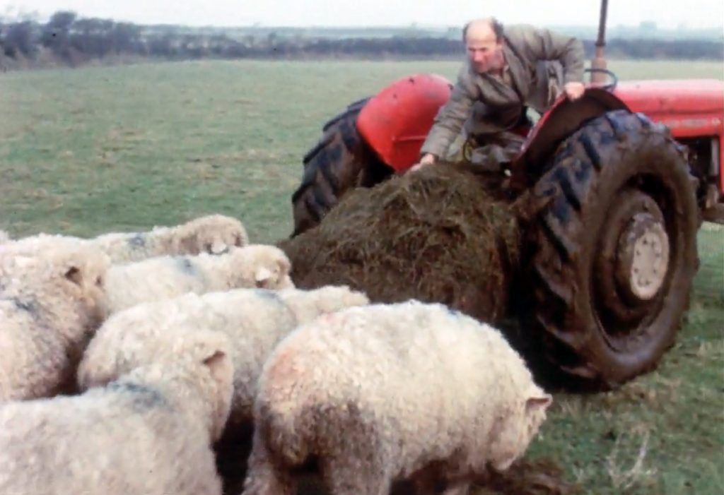Feeding the sheep on Kempthorne's farm at St Clether 1960
